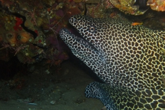 Scuba Diving with Honeycomb Eels